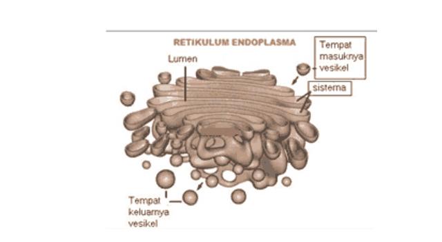 - Badan Golgi (Aparatus Golgi)