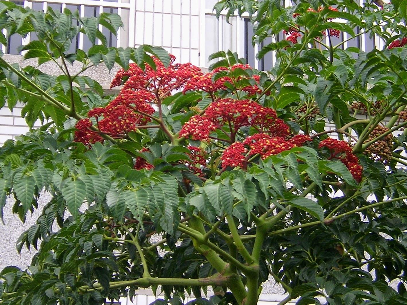安順國小的植物: 74-1火筒樹--達悟族的禁忌植物(番婆怨)