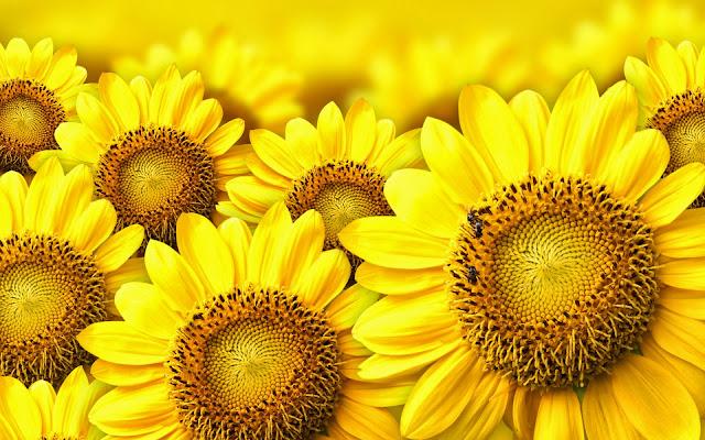 Manfaat Bunga Matahari untuk Pengobatan