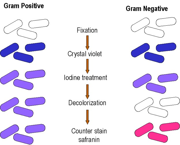 Medical microbiology gram staining ccuart