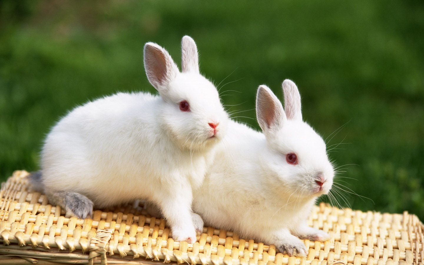 Cute White Baby Rabbit Wallpapers - 1440x900 - 254591