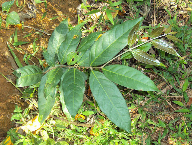 Tơ Mành - Hiptage madablota - Nguyên liệu làm thuốc Đắp vết thương Rắn Rết cắn