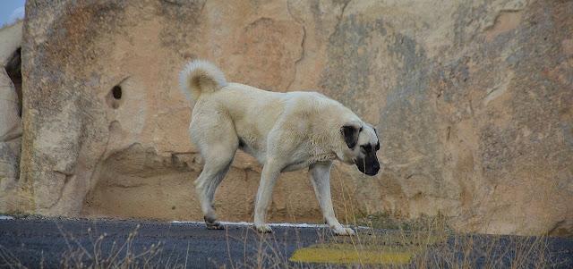 كلب الكانجال