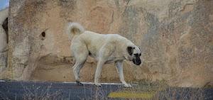 معلومات عن كلب الكانجال