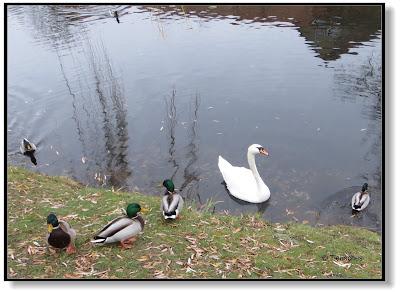 Enten und Schwan