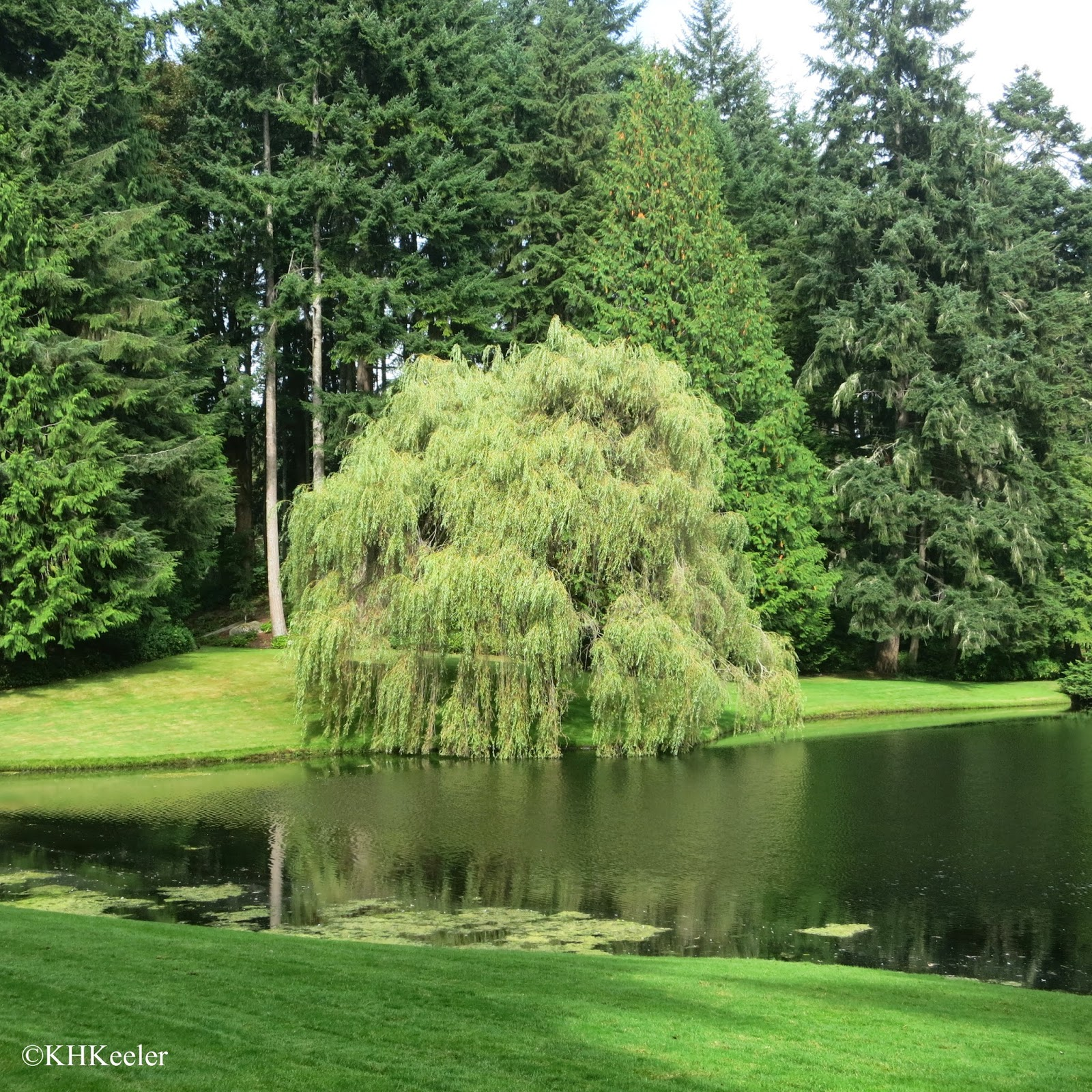 Chinese weeping willow, Salix babylonica