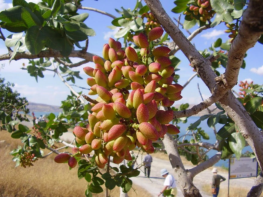 Do You Know What Your Favorite Foods Look Like While Growing - Favored pistachios grow on trees. When they ripen, the shell changes from green to red-yellow color, and then splits part way open.