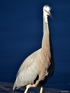 long tall birdy