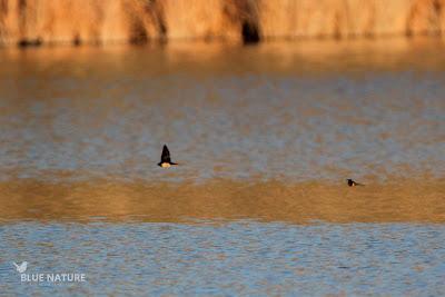 Golondrina común - Barn swallow (Hirundo rustica)