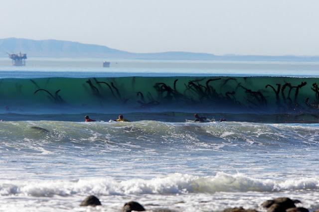 Rumput laut yang mirip monster laut