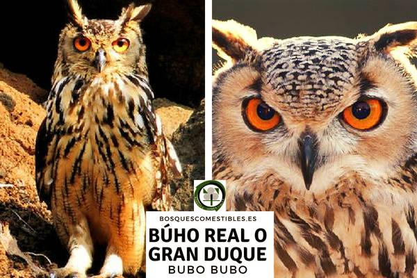Búho Real Europeo o el Gran Duque, Bubo bubo, rapaz nocturna de mayor tamaño de Europa.