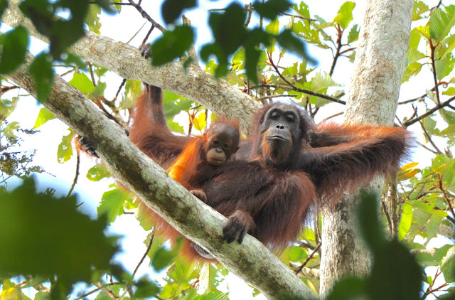 Rethinking the orangutan: How 70,000 years of human interaction have shaped an icon of wild nature