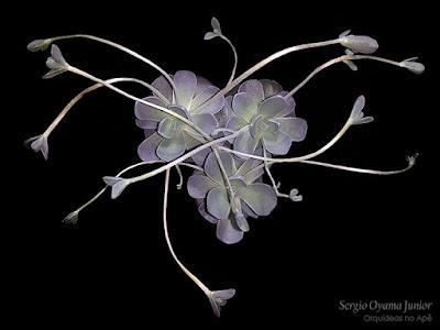 Suculenta Orostachys boehmeri