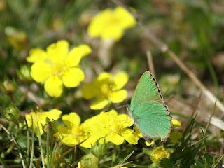 Thècle de la ronce - Argus vert - Callophrys rubi