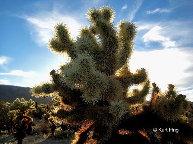 This cactus grow throughout the park, but there's a heavy concentration at the Cholla Cactus Garden.