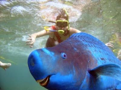Ikan Beo Biru - Sekitar Dunia Unik