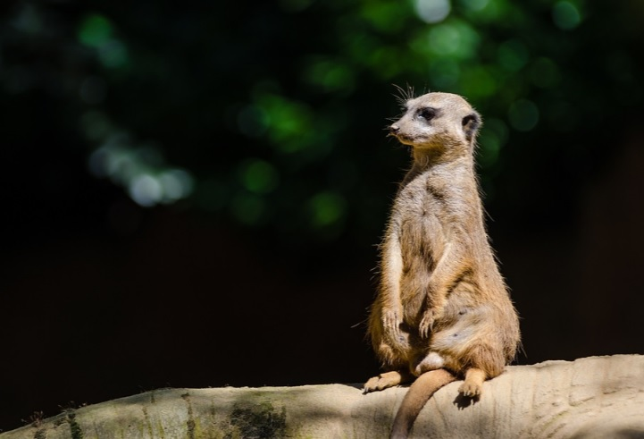 African Folktale; Walk Softly on the Big stick mongoose teaches everything was impossible until someone decided otherwise.