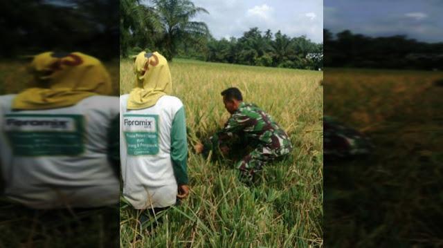 """Anggota Kelompok Tani """"Medang Jaya"""" Desa Pakam Raya Panen Padi  Dibantu Personil Koramil 01/MD"""