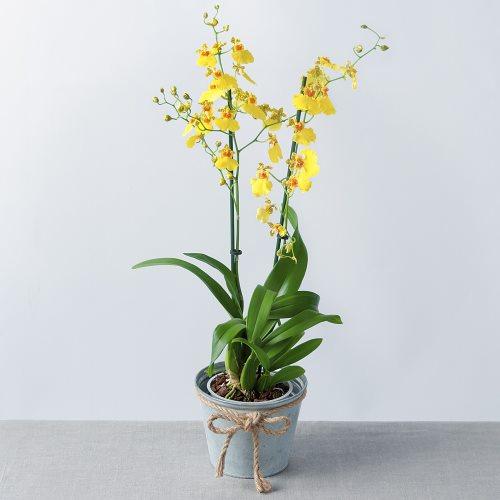 Oncidium orkidesi