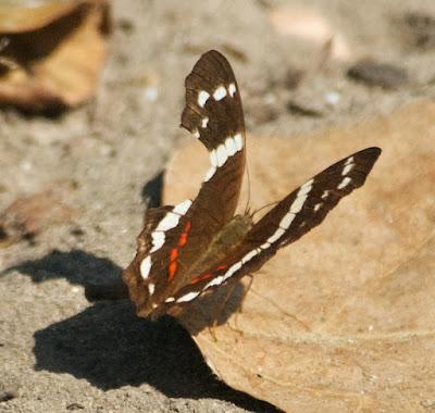 Banded Peacock (Anartia fatima)