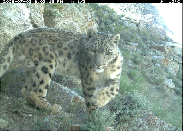 The snow leopard - world's most mysterious big cat - may be more common than thought