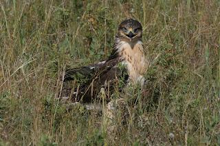 Image of a Ferrguinous Hawk