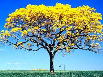 Resultado de imagem para ipês amarelos