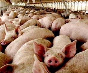 Foto de cerdos rosados comiendo representante del ganado porcino