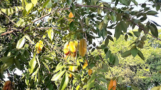 caramboleira - Camping Canarinho