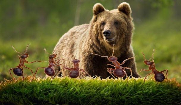 Semut dan Beruang