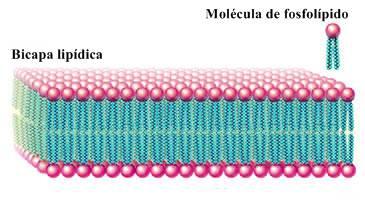 Bicapa lipídica membrana celular