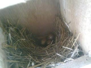 indukan murai batu makan telurnya