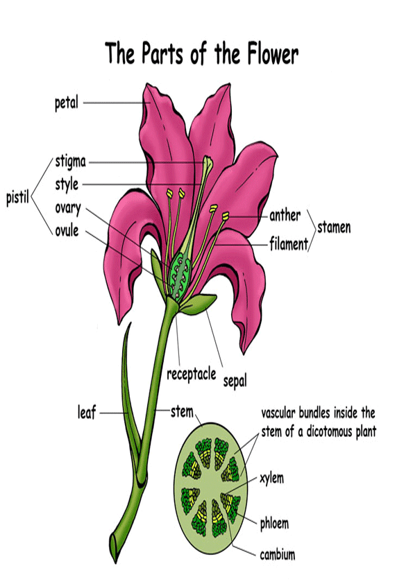Partes de la flor en ingles para imprimir-Imágenes y