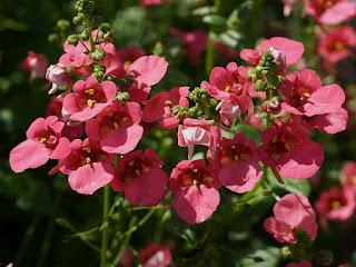 Diascie de Barbera - Cultivar : Diascia barberae 'Coral rose'
