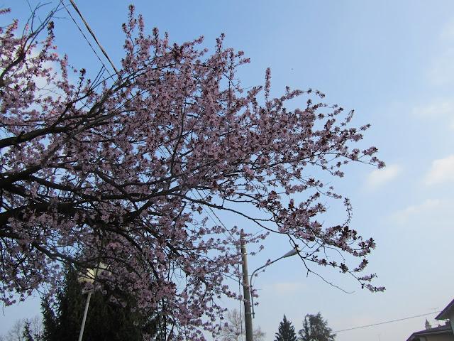 Fioritura Prunus pissardi nigra