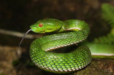 Pit Viper | snake