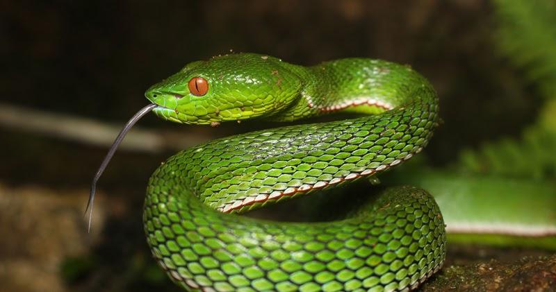 Pit Viper Snake