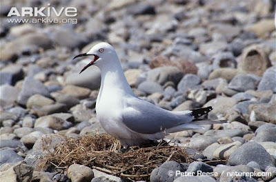 Black billed Gull