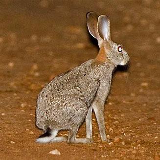 liebre del matorral Lepus saxatilis