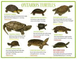 Turismo in canada tartarughe for Tartarughe razze
