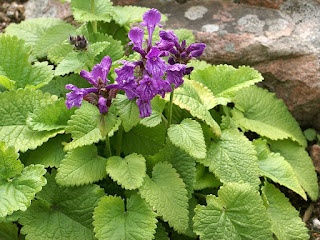 Bétoine à grandes fleurs - Grande bétoine - Stachys macrantha
