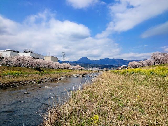 狩川 富士フィルム工場前 春めき桜 春木径 幸せ道