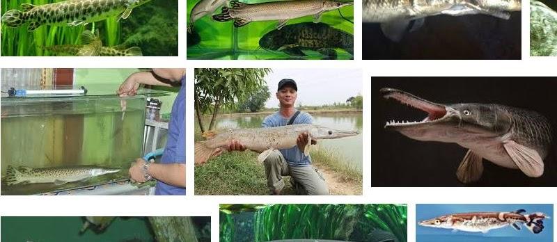 Cara Merawat Ikan Aligator (Ikan Buaya) Agar Cepat Besar dan Sehat