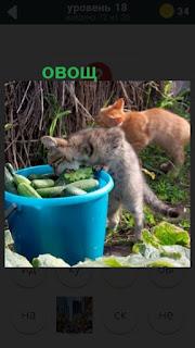 в ведре лежат овощи и любопытные кошки лезут за ними
