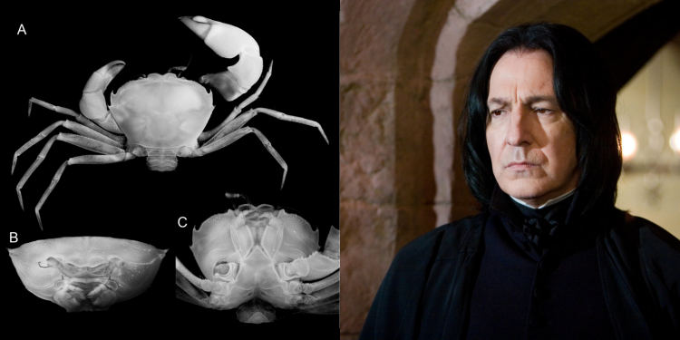 Crab Severus Snape Name