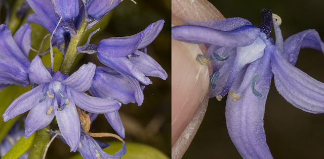 Spanish Bluebell, Hyacinthoides hispanica.  Hutchinson's Bank, 20 April 2016.