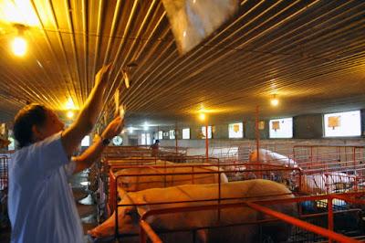 Một trang trại chăn nuôi heo tại Gia Kiệm, huyện Thống Nhất, Đồng Nai thực hiện ghi chép thông tin đầy đủ, đáp ứng được yêu cầu truy xuất nguồn gốc - Ảnh: A LỘC