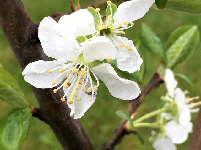 Pæretre i blomst