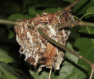 Red eyed vireo nest - photo#36