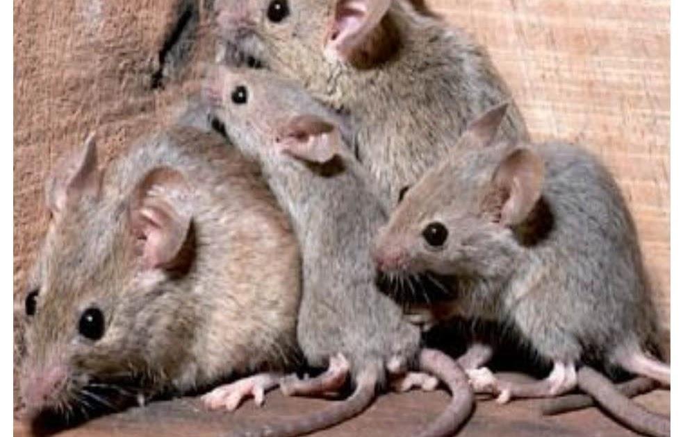Como combatir una plaga de ratones - Mejor veneno para ratones ...